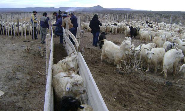 Cabras en Río Negro.