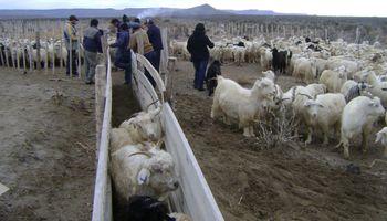 Río Negro: crían cabras para repoblamiento y desarrollo de familias de la zona