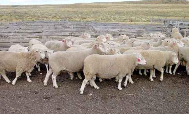 Precios de la carne ovina continuarán firmes en 2014