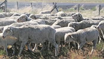 Sarna en ovinos: un mal costoso que se puede prevenir