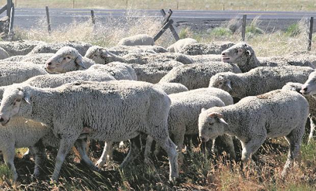 Para evitar grandes pérdidas económicas en cantidad y calidad de lana, como también la muerte de animales, se pueden tomar algunas medidas preventivas.