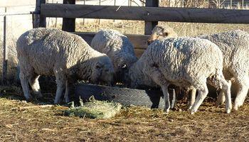 Buenos Aires impulsa la actividad ovina con líneas de créditos a tasa 0 % y dos años de gracia