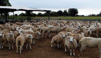 Buscan impulsar a la cadena de valor de la carne ovina en la zona sur de Santa Fe