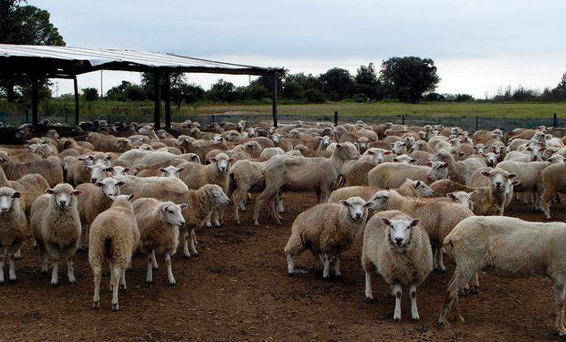 Buscan atraer a potenciales nuevos productores de ovinos.