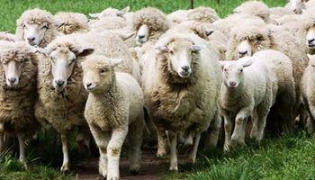 Trabajan en ovinos para desarrollar resistencia a parásitos gastrointestinales