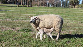 Producción ovina: recomendaciones para una alimentación adecuada antes del servicio