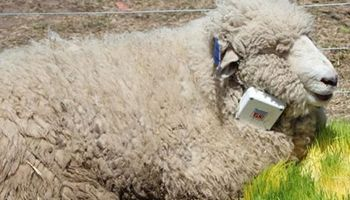 Ganadería de precisión: desarrollan un collar para monitorear ovinos