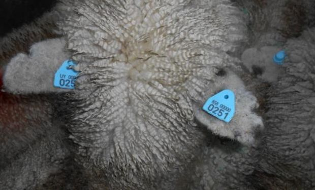 Se armó una faena especial para el compartimento ovino. Foto: El País
