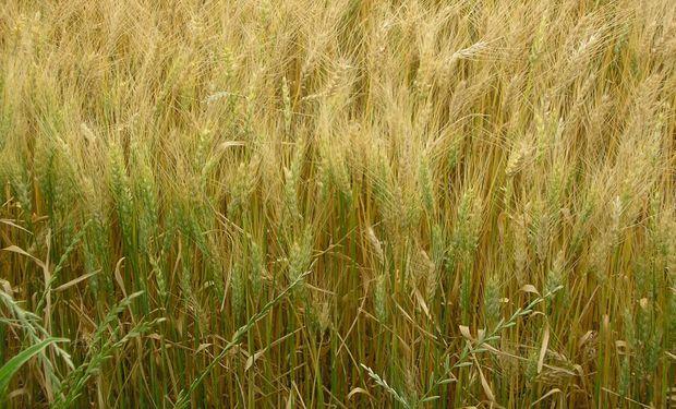 Francia incrementa estimación de área sembrada de trigo