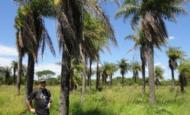 Proponen hacer biocombustibles para aviones con una palmera nativa