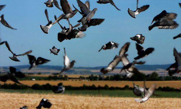 Una medida eficiente es acortar el período de exposición del cultivo a las palomas mediante una cosecha anticipada.