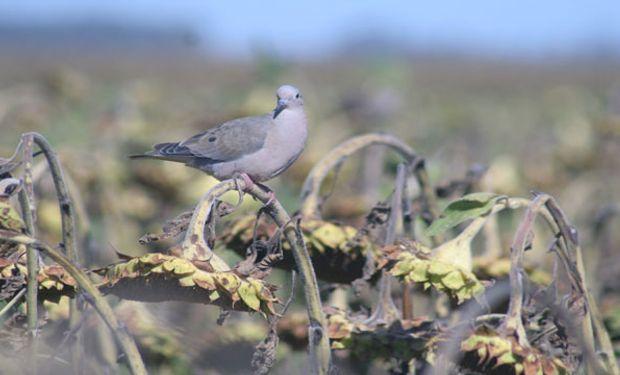 Girasol, a prueba de palomas