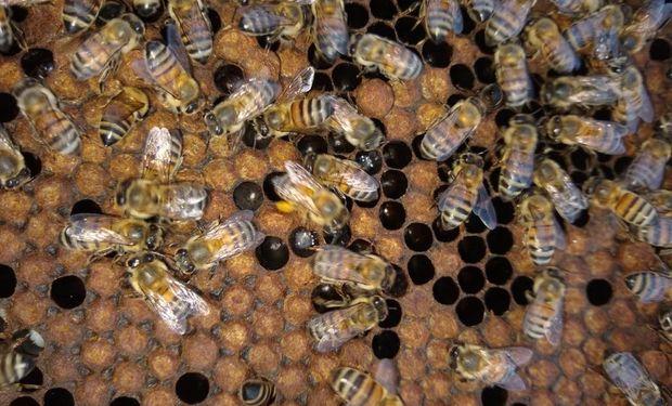Claudio tiene más de 4 mil colmenas y con esa materia prima produce miel orgánica, licores y cremas.