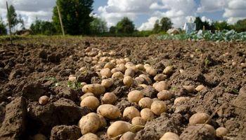 Productores aseguran que no hay desabastecimiento de papas y la cosecha está normalizada