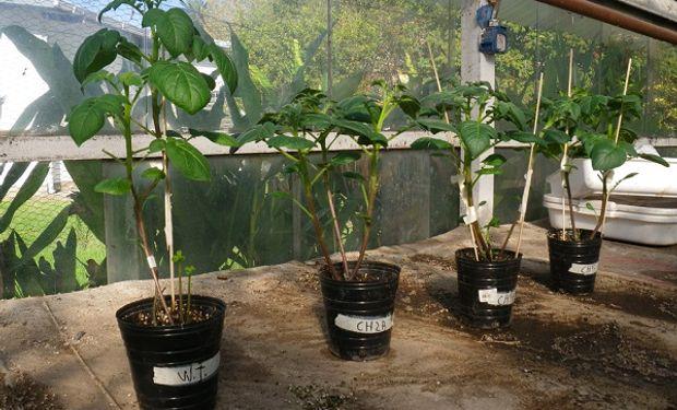 Plantas de papa utilizadas para la investigación del Conicet y UBA.