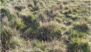 Variedades de agropiro para suelos bajos salinos de la Cuenca del Salado