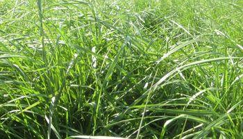 Control temprano de la floración en pasturas: una práctica para evitar que se hagan altas y pierdan calidad