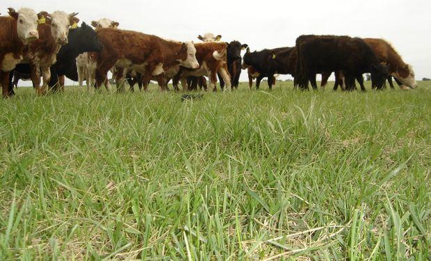El interés de los productores se basa en que estas pasturas tienen un potencial de producción muy importante.