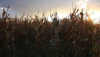 El precio del maíz logró subir en Chicago, pero cayó en el mercado local