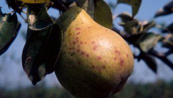 Recomiendan extremar precauciones por la reaparición del piojo de San José en frutales
