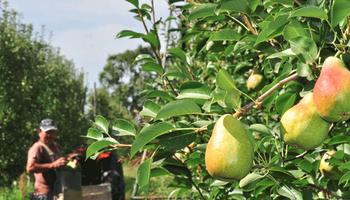 Brasil oficializó la reapertura para las peras y manzanas de Argentina