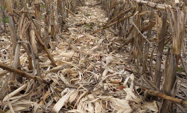 Perdieron dinero con el maíz temprano