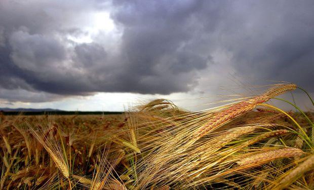 La producción de trigo ha sido una de las más afectadas por las trabas a la comercialización.