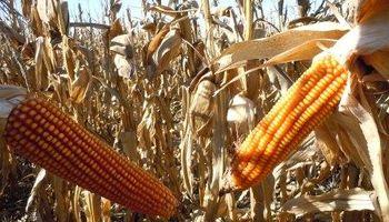 800 $/ha adicionales para el maíz con cobertura