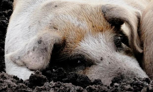 Peste porcina africana: temor en Estados Unidos por un brote en República Dominicana
