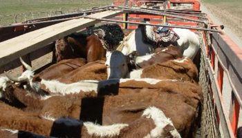 Recopilan datos de la última peste bovina