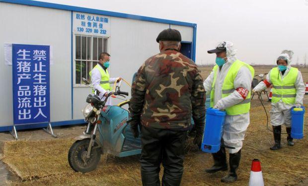 HuB20: científicos chinos investigan las nuevas cepas de peste porcina africana