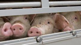 China confirmó un brote de peste porcina en una provincia del suroeste