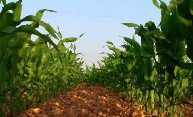 Las últimas lluvias ayudaron a los cultivos y permiten que se consolide la campaña