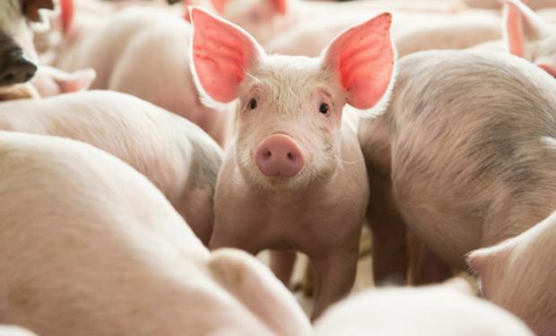 l primer paso es adaptar nuestro entorno climatológico en el que está produciendo el cerdo a sus necesidades fisiológicas.