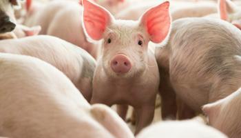 Granjas porcinas: cómo lograr óptimas condiciones ambientales