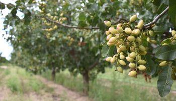 San Luis tendrá su primera y exitosa cosecha de pistachos
