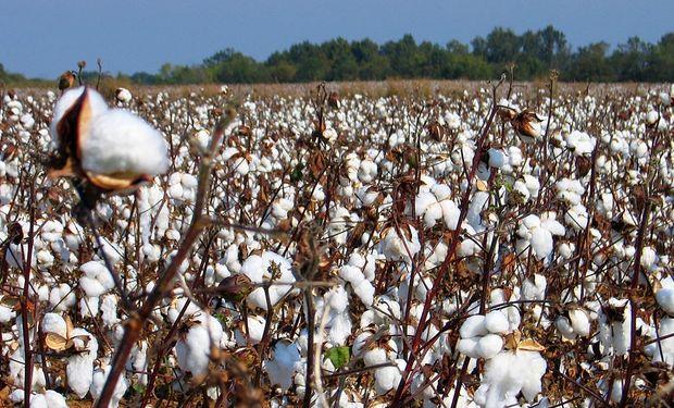 Según el SENASA, el picudo del algodonero (Anthonomus grandis boheman) está presente en los Estados Unidos desde hace 100 años.