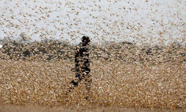 El Banco Mundial aportará US$ 500 millones para combatir la peor plaga de langostas en 70 años