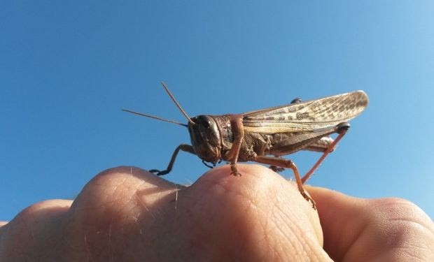 Todos los actores deben involucrarse de manera proactiva en la lucha contra este insecto, especialmente los productores. Fuente: Senasa.