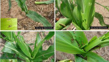 Las plagas afectan el desarrollo del cultivo de maíz