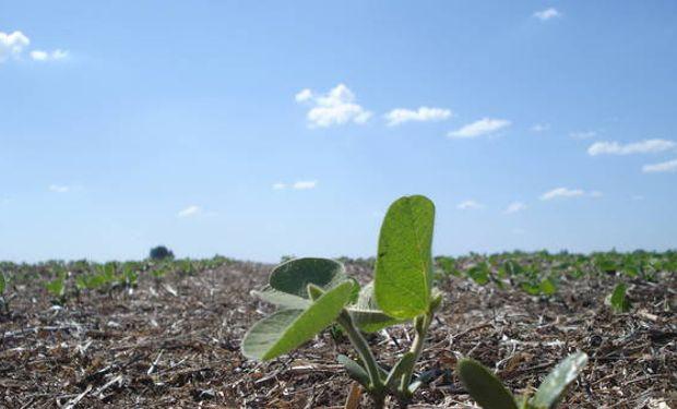 En la zona central del país, la soja está entre plena emergencia y los lotes más avanzados con dos a tres hojas expandidas (V2-V3).