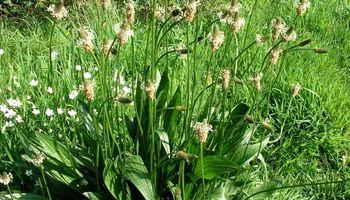 Solicitan la inscripción de una semilla de Llantén forrajero con tolerancia a herbicidas