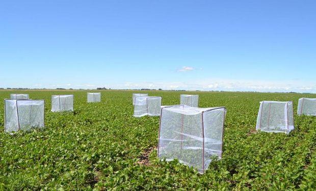 La soja fue considerada tradicionalmente como un cultivo autógamo.