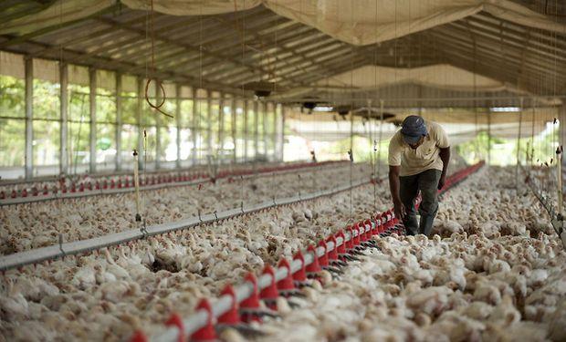 El gas es esencial para calefaccionar a los pollos en sus primeras semanas de vida, mientras que la energía es usada durante la alimentación.