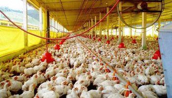 Crecería al 15 por ciento la producción avícola