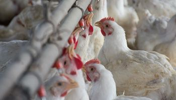 Los argentinos ya consumen casi la misma cantidad de pollo que de carne vacuna