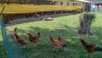 Cocorokeen, las características de la única granja de pollos orgánicos del país