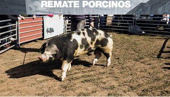 Remate de AgroActiva Virtual: pagaron 173.000 pesos por un reproductor porcino
