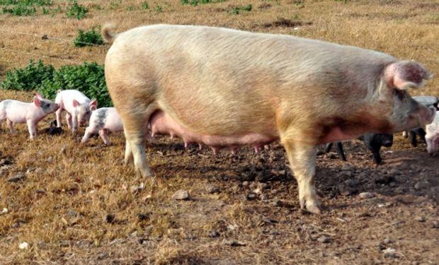 En Florencio Varela se profundiza en la producción porcina como una alternativa rentable para la agricultura familiar.