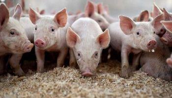 El Congreso tratará la emergencia económica en el sector porcino